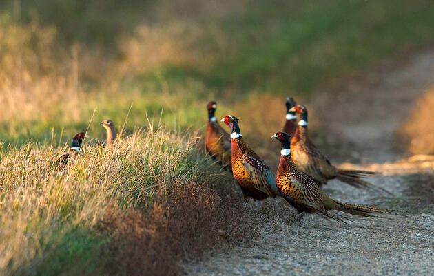 You've Got Quail: Why Thousands of Rural Mail Carriers Count Roadside Wildlife Every Year