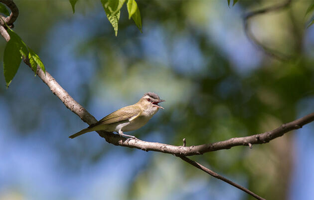 Birdist Rule #95: Learn the Red-Eyed Vireo's Song and Level-Up Your Birding