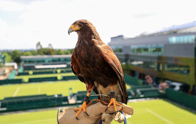 Meet Rufus, the Harris's Hawk That Keeps Wimbledon's Courts Pigeon Free