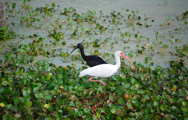 Birdist Rule #83: Identify Your First Ibis