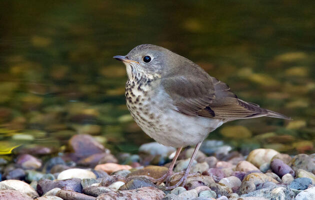 After Binging in Colombia, Thrushes Can Fly Non-Stop to Canada in Mere Days
