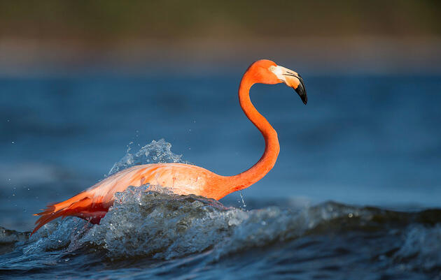 It's Official: Flamingos Belong in Florida