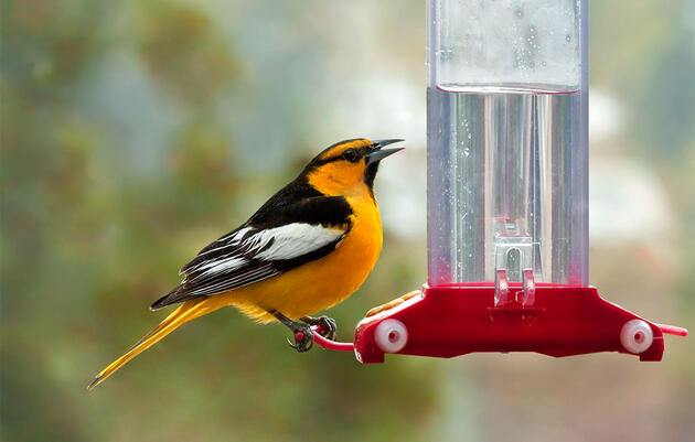 Why Only Certain Birds Can Drink Nectar