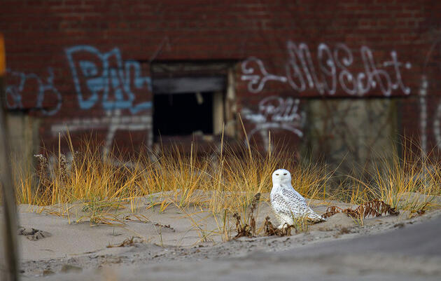 A Guide to Finding Urban Owls