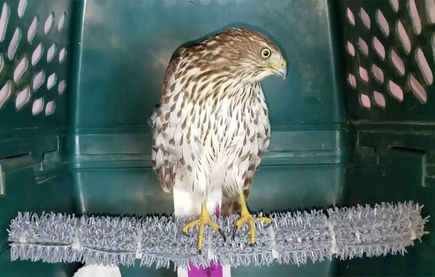 The Story of Harvey, a Cooper's Hawk Rescued in Houston During the Hurricane