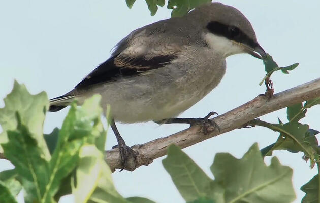 Watch: New Shrike Film Shows Previously Undocumented 'Butcher Bird' Behaviors
