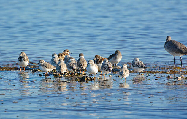 More Success! Young Pennsylvania Plover Spotted in Florida on Inaugural Migration