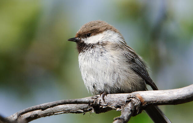 In Search of the Gray-headed Chickadee, the Most Mysterious Bird in the U.S.