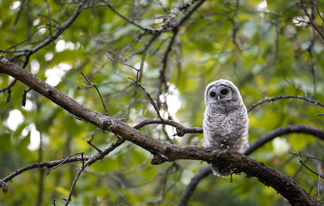 How Baby Owls Nap Without Falling From Their Trees