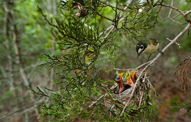 A Life in Pursuit of Vireos