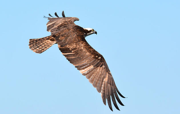 Where Do Ospreys Go in the Winter?