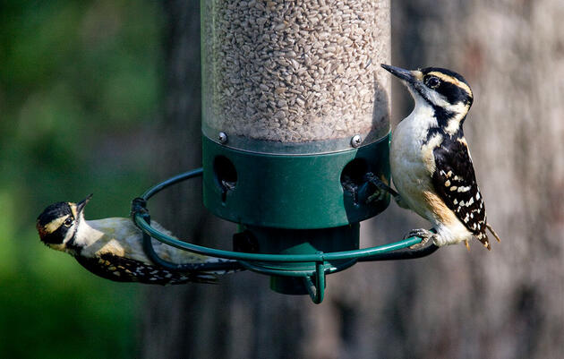 There's a New Theory for Why Downy and Hairy Woodpeckers Look So Alike