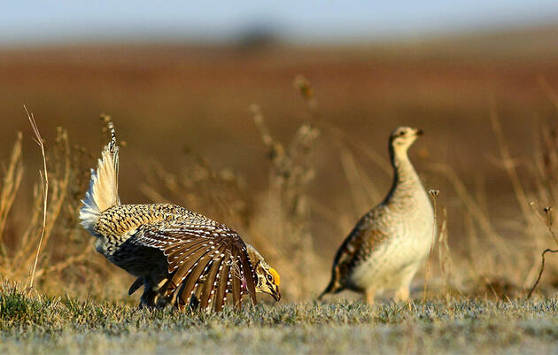 What the Heck Is a Lek? The Quirkiest Mating Party on Earth