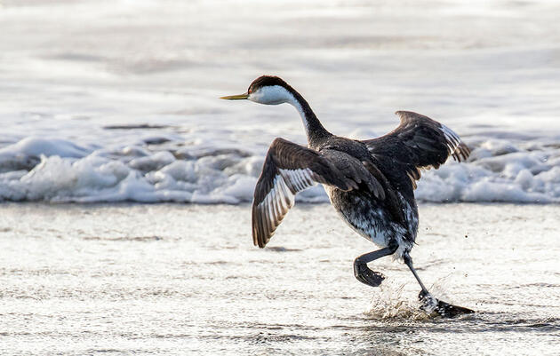 The Bizarre Walk of the Western Grebe Caught on Camera