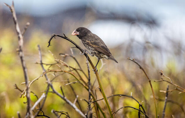The Wild Way Scientists Hope to Save Darwin's Finches from Parasitic Flies