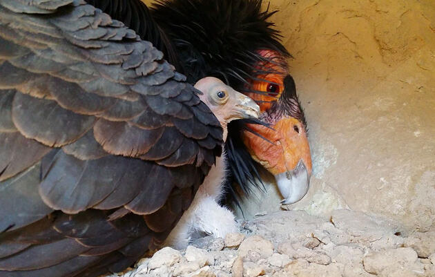 California Condors Achieve a Happy New Milestone
