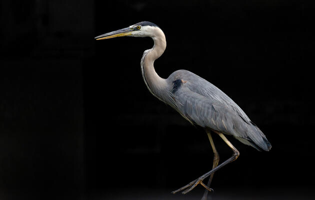 30 Herons Found Dead at Alberta Mining Site
