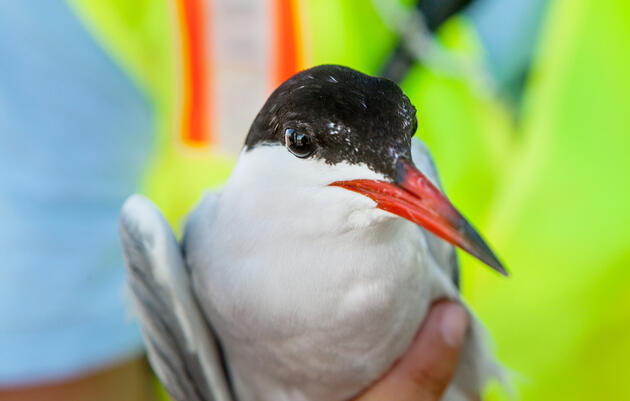 Is New York City Tern-ing Into a Haven for Seabirds?