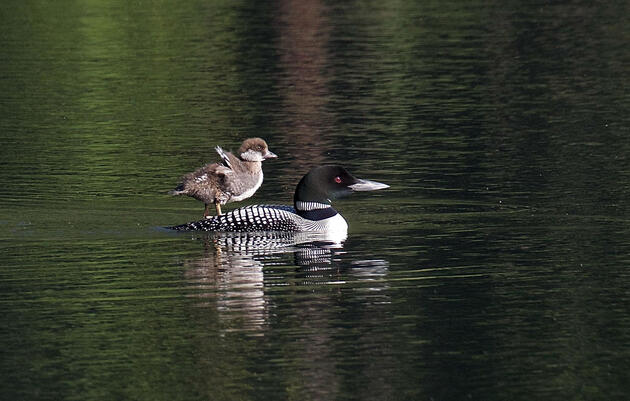 A Pair of Common Loons Adopted a Lucky Goldeneye Duckling, and It Was a Big Deal