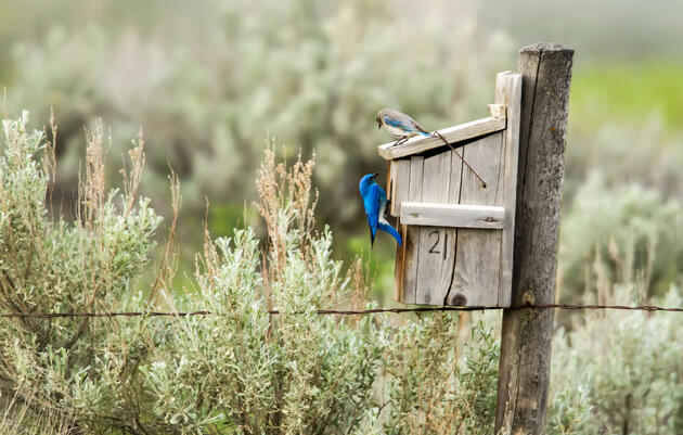 Who Wins in a Fight Between Bluebirds and Swallows?