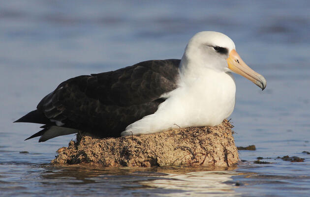 Climate Change May Swallow Albatross' Nesting Grounds Sooner Than We Thought