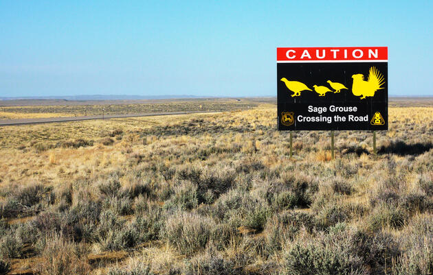 6 Ways to Help Sage-Grouse Right Now