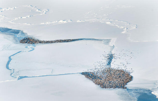 Sitting Ducks: Why Millions of Arctic Seabirds Are in Danger