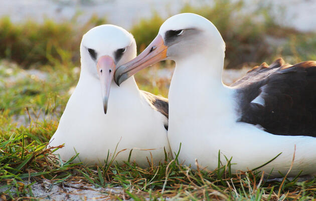 Oldest Tagged Albatross Wisdom To Be A Mom Again