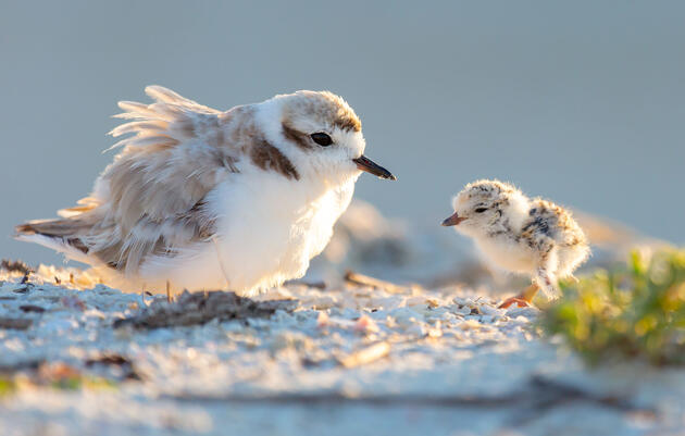 Florida's Shorebirds Saw a Huge Breeding Bump in a Post-Hurricane Landscape