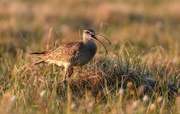 COVID-19 Halted Arctic Refuge Bird Research, but Oil Leasing May Continue
