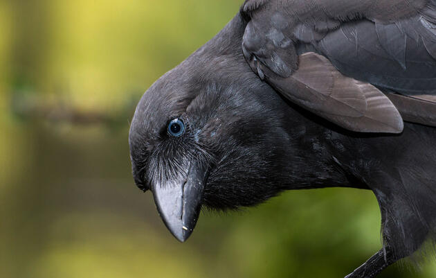 The Hawaiian Crow Is Ready to Make Its Big Comeback