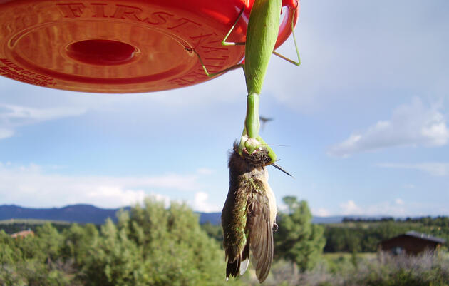 Praying Mantis vs. Hummingbird