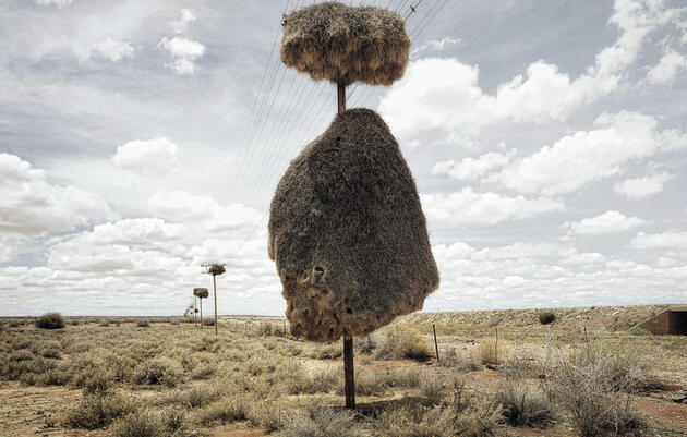 Africa's Social Weaverbirds Take Communal Living to a Whole New Level