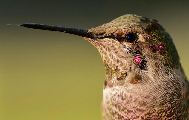 New Research Shows Hummingbirds Need Exceptional Brains to Hover