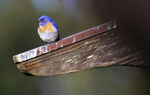 From Bluebird Admirer to Yard Birder