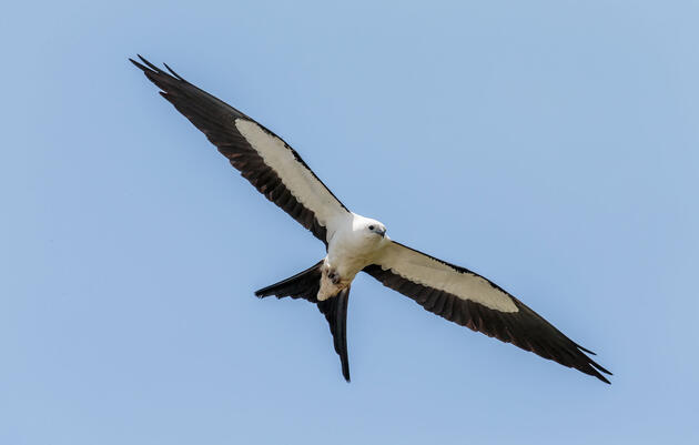 How the Swallow-tailed Kite Soars With Such Grace