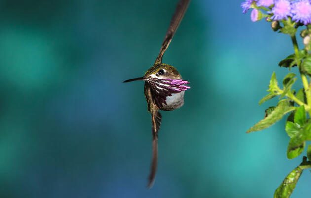 One Simple Way to Help Hummingbirds Threatened by Climate Change
