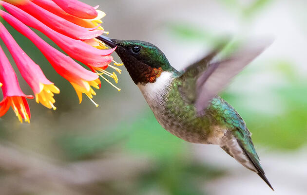 Create a Hummingbird Haven With Native Flowering Plants