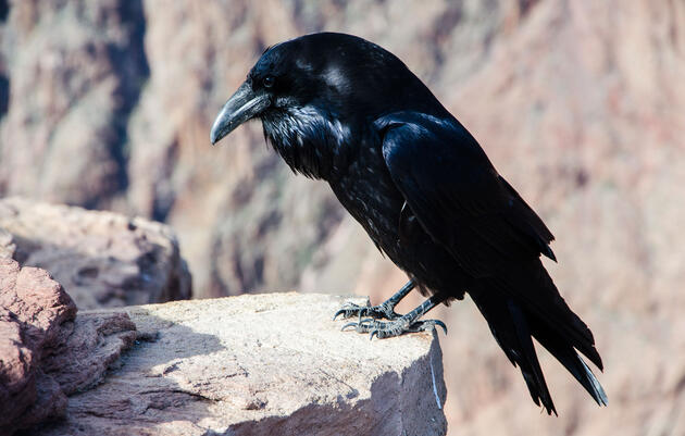 How Black Feathers Keep Ravens Cool