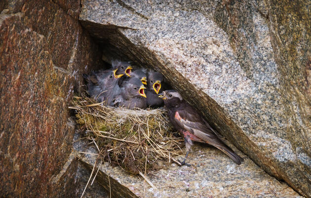 As the Rockies Melt, This Rare Nesting Bird Will Have Nowhere to Go