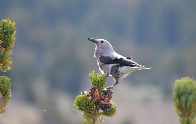 Better Know a Bird: The Clark's Nutcracker and Its Obsessive Seed Hoarding