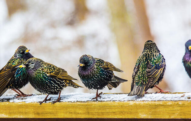 Birdist Rule #72: It's Okay to Hate Starlings