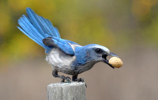 Test the Smarts of Your Backyard Jays with This Fun Memory Game