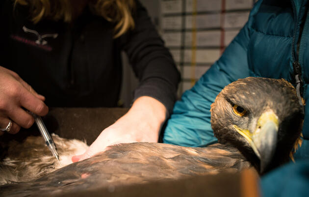In Wyoming, a Statewide Relay Race to Rescue Golden Eagles