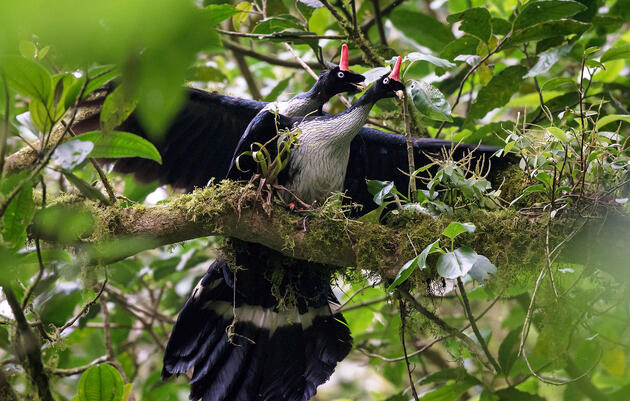 Lucky Birder Captures Only Known Photos of Horned Guans Mating in the Wild