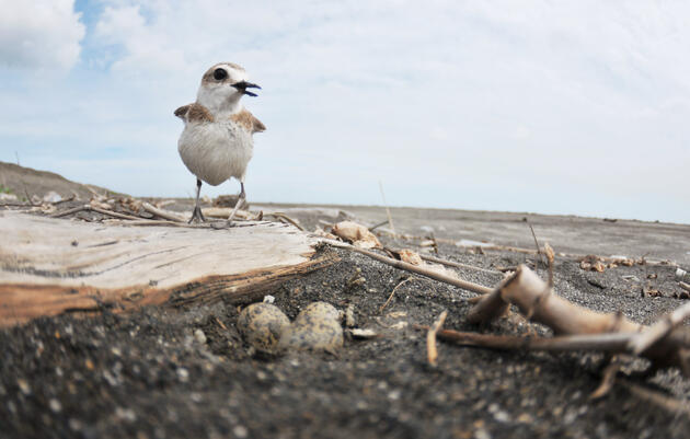 By Pitching In Around the Nest, Plover Dads Adapt to Warmer Temperatures