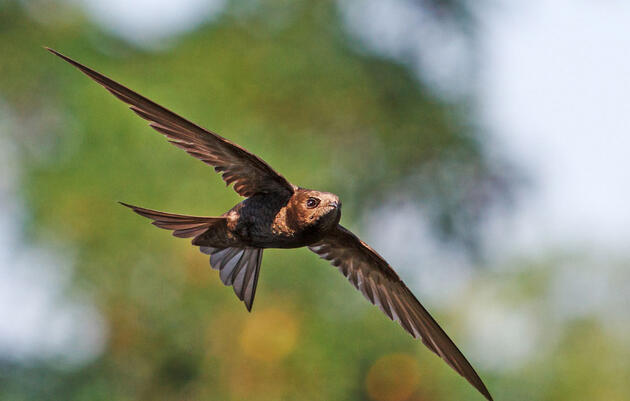The Common Swift Is No Longer the Fastest-Flying Animal