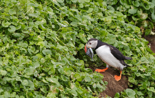 To Photograph Nesting Puffins, Belly Crawl