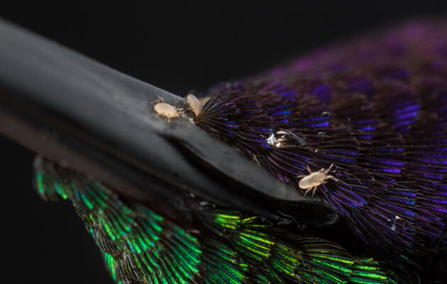 Mites Take Flight on Hummingbird Beaks