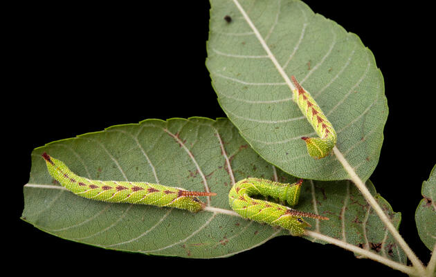 This Caterpillar Mimics Bird Alarm Calls to Scare Away Predators